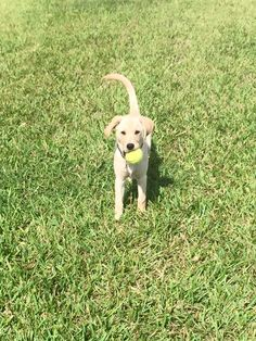 #goldador puppy -- just discovered the bfn of a tennis ball!