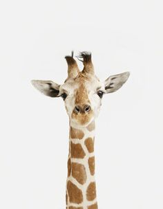 The Animal Print Shop by Sharon Montrose Little Darlings Baby Giraffe by Sharon Montrose Photographic Print Size: Cute Baby Animals, Animals And Pets, Wild Animals, Forest Animals, Beautiful Creatures, Animals Beautiful, Beautiful Smile, Animal Print Shop, Animal Prints