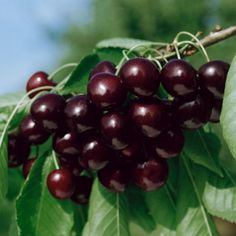 Sweet Black Tartarian Cherry Tree Seeds 20 Cherry Seeds Exclusive -- Learn more by visiting the image link. Fruit Plants, Fruit Trees, Trees To Plant, Tree Planting, Potted Plants, Garden Trees, Balcony Garden, Lawn And Garden, Fruit Garden