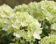 """Hydrangea paniculata """"Bombshell"""",   Position: full sun or partial shade  Soil: moist, well-drained, moderately fertile, humus-rich soil  Rate of growth: fast-growing  Flowering period: July to October  Flower colour: creamy-white fading to pink"""
