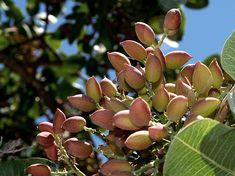 El pistachero es un árbol caducifolio dioico, es decir las flores masculinas nacen en un árbol y las flores femeninas en otro. Por lo tanto, los ejemplares masculinos como los femeninos deben producir frutos secos. Las flores femeninas no tienen pétalos y nectarinas, por lo que no atraen a las abejas. El pistachero es dioico, lo que quiere decir que pierde sus hojas en el otoño y permanece en un estado de dormancia durante el invierno.
