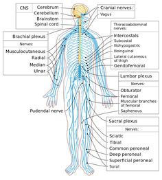 anatomy pinterest brain diagram and brain. Black Bedroom Furniture Sets. Home Design Ideas