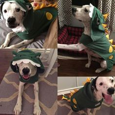 Even though our #ZYMOXHalloween is over, we wanted to share some late submissions. Here's Maddux, 2.5 years old, his owners are, Jessica Ball and Geoffery Witt. #ThrowbackThursday