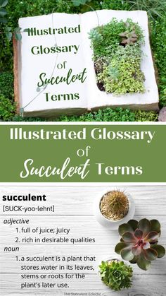 Every hobby has its own, specific vocabulary, and growing succulents is no exception. Learn all the succulent terms you need in this illustrated glossary of succulent terms! This is a practical guide for succulent growers like you! #succulentglossary #illustratedglossary #glossary #succulentcarr Baby Succulents, Planting Succulents, Scale Insects, Epiphyte, Mother Plant, Peat Moss, Succulent Care, Neem Oil, Photosynthesis