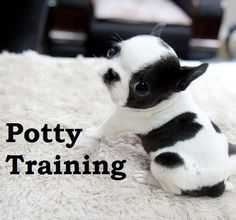Boston Terrier. How To Potty Train A Boston Terrier. Boston Terrier House Training Tips. Housebreaking Boston Terrier Puppies Fast & Easy. Share this Pin with anyone needing to potty train a Boston Terrier Puppy. Click on this link to watch our FREE world-famous video at ModernPuppies.com