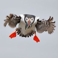 'Incoming Puffin!' by Richard Steel