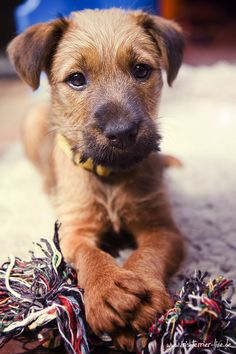 Irish Terrier pup by fotoARTstudio