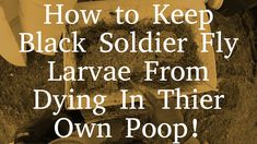 How to Keep Black Soldier Fly Larvae From Dying In Thier Own Poop!