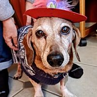 Available Pets At Little Paws Dachshund Rescue In Orangeburg South Carolina Dachshund Adoption Dog Pounds Dachshund Rescue