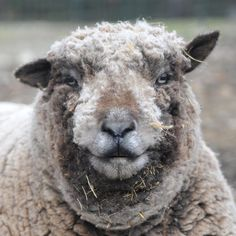 Dodger, one of the Sanctuary's three elderly Southdown sheep. Photo by Sophie Dougher.
