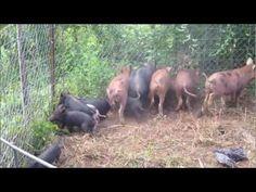 How to build a wild hog trap