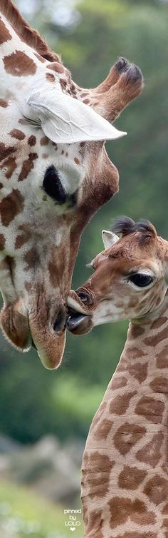 Baby giraffe kisses it's parent baby giraffes, cute giraffe, giraffe . Animals Images, Nature Animals, Animals And Pets, Animal Pictures, Giraffe Images, Giraffe Pictures, Cute Creatures, Beautiful Creatures, Animals Beautiful