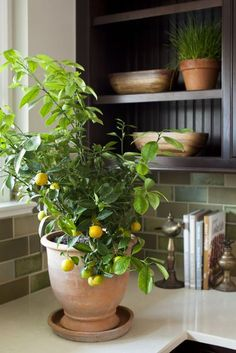 Gardening Indoor lemon_tree_care_photo_by_LaurenLiess - Scared of bringing citrus indoors? Fear no more. Here, an expert dishes on how to care for your citrus trees inside, because why shouldn't you be able to enjoy fresh lemonade whenever you want? Indoor Lemon Tree, Mini Lemon Tree, Lemon Tree Potted, Lemon Plant, Pot Jardin, Plant Guide, Citrus Trees, Fruit Trees, Hanging Plants