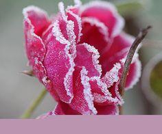 magnifique rose délicatement givrée