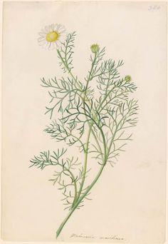Georg Dionysius Ehret | Matricaria maritima | Drawings Online | The Morgan Library & Museum