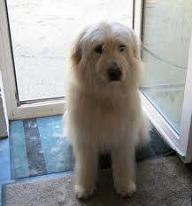 Image result for catalan sheepdog