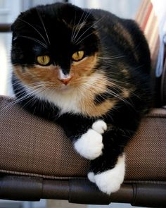 Scottish Fold Calico Cat with extra toes! I Love Cats, Crazy Cats, Cool Cats, Pretty Cats, Beautiful Cats, Unusual Animals, Cute Animals, Gato Calico, Calico Cats