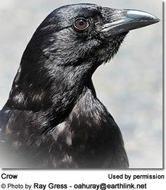 Raven+vs+Crow   Interesting Facts about Ravens and Crows (Raven Intelligence ...