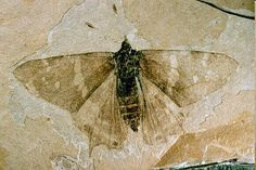 A fossil butterfly from nymphalid, today the largest family of butterflies (and perhaps then, too). Its fossilized remains were entombed in paper shale that has risen to the surface at what is now the Florissant Fossil Beds National Monument in Colorado. Rocks And Gems, Rocks And Minerals, Historia Natural, Dinosaur Fossils, Extinct Animals, Prehistoric Creatures, Fauna, Natural World, Fresco