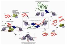 The abundance of long non-coding RNAs (lncRNAs) and their wide range of functional roles in human cells are fast becoming realized. Importan...
