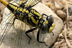 https://flic.kr/p/2jyZbY | Large Pincertail (Blue-eyed Hooktail) Onychogomphus uncatus | Male Large Pincertail (Blue-eyed Hooktail) Onychogomphus uncatus Bellegarde France 08/07/2007