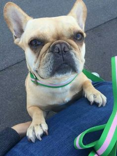 Piggy, the French Bulldog, is such a Cutie! !