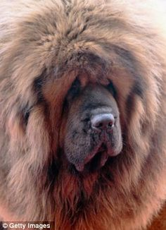 Ancient breed: The dog is a descendant of animals kept by nomadic Chinese tribes Tibetan Mastiff