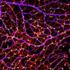 camada de fibras nervosas de um rato