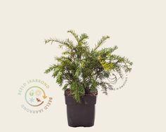Koop online bij onze tuinplanten webshop de Taxus baccata 'Repandens' | Venijnboom | Gratis verzending! | Binnen 2-4 werkdagen bezorgd! | Tuinplantenwinkel.nl