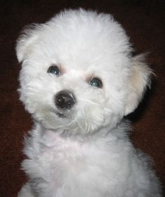 Bichon frise puppy, my how they grow up to be pretty special kids...