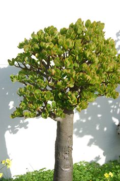 Great Highway Succulent Gardens Jade plant, with a trunk as big as your forearm! Succulent Bonsai, Succulent Gardening, Bonsai Garden, Succulents Garden, Garden Pots, Outdoor Plants, Outdoor Gardens, Suculent Plants, Bonsai Pruning