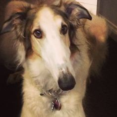 My stunning fur baby Max! Borzoi, is there any other breed??? The most amazing creatures on the planet!