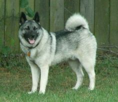 If I ever have another dog, it will have to be a Norwegian Elkhound, maybe a Siberian Husky.
