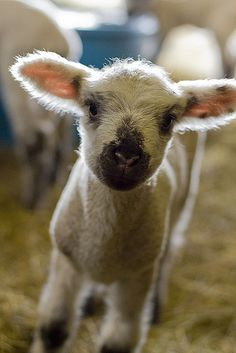 Cute baby lamb  By classendesign