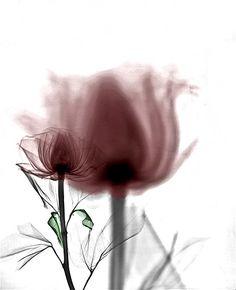 Image: Two roses. (© Arie van 't Riet)