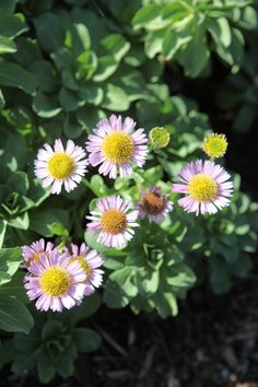 While Southern California may have to work a little harder to earn our Greenery, ours will bloom in December!  Here:  Erigeron glaucus Coast Daisy  #CaliforniaNativePlants #Greenery #Pantone2017