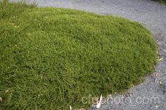 Coprosma hawera - For banks Height: 0.1m; Spread: 2m Ideal for banks,walls and rockery. The neatest of all the widespreading forms of Coprosma producing a smooth undulating expanse of soft mid-green foliage.