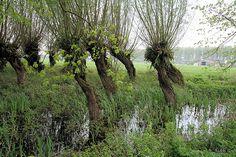 Wilgen Marienwaerdt by Boerderijvogel, via Flickr