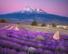 Lavender farm and Mt. Shasta.