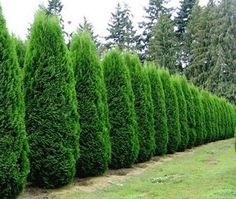 Privacy Hedges - Emerald Green Arborvitaes