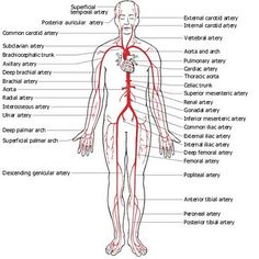 Dr Will McCarthy's Science Site: Major Arteries and Veins from the American Medical Association (AMA)