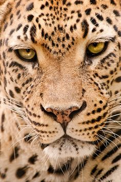 theanimaleffect:    Memphis Leopard 3-0F LR 9-18-11 J229 by sunspotimages on Flickr.
