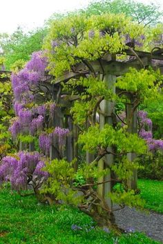 Wisteria!! I'm sure this would require vigilant pruning....