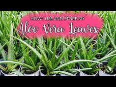 I really love Aloe vera's plump leaves full of gel & juice which you get to harvest. You can also buy large Aloe vera leaves in the produce section of some m. Aloe Vera Care, Aloe Vera Uses, House Plant Care, House Plants, Growing Aloe Vera, Aleo Vera, Natural Grocers, Used Store, Aloe Leaf
