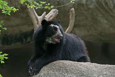 Colombia - El Páramo de Sumapaz, Cundinamarca, es una de las fuentes hídricas más importantes de Colombia. En su ecosistema se haya una fauna envidiable, entre ellos, el oso de anteojos.