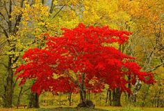 Bright Autumn Red Tree