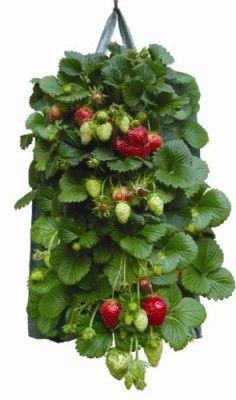 Aardbeien kweken op het terras? Gebruik deze handige plantzak speciaal voor aardbeien. Voorzien van uitsparingen voor de planten en een watergeefsysteem. Bestel gemakkelijk en snel bij huisentuinkado.nl
