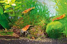 Des crevettes multicolores investissent vos aquariums
