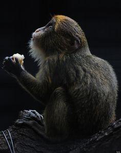 A juvenile De Brazza's monkey eats fruit at the Hong Kong Zoological and Botanical Gardens on February 10, 2012.