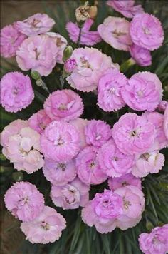 'Sweetie Pie' Pinks--a perfect choice for a short plant to tuck into small places. Photo courtesy of Perennial Resource.